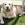 Daisy - Golden Labrador